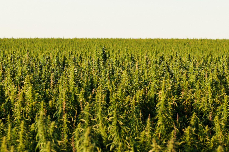 Мы посеем коноплю кулоны с марихуаной