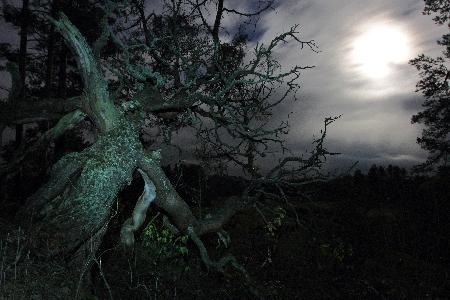 Эстония Священное дерево