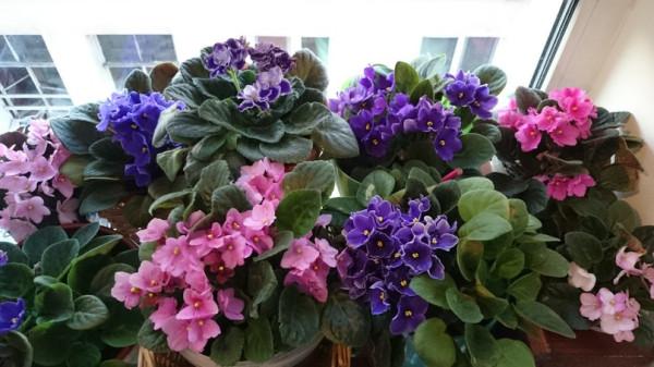 Фиалки Наши цветы