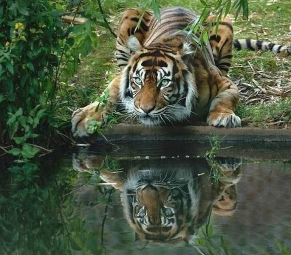 тигрица взгляд