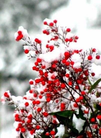 Зима рябина в снегу