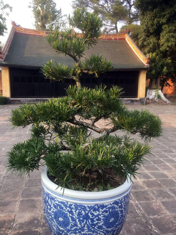 Вьетнамский бонсай