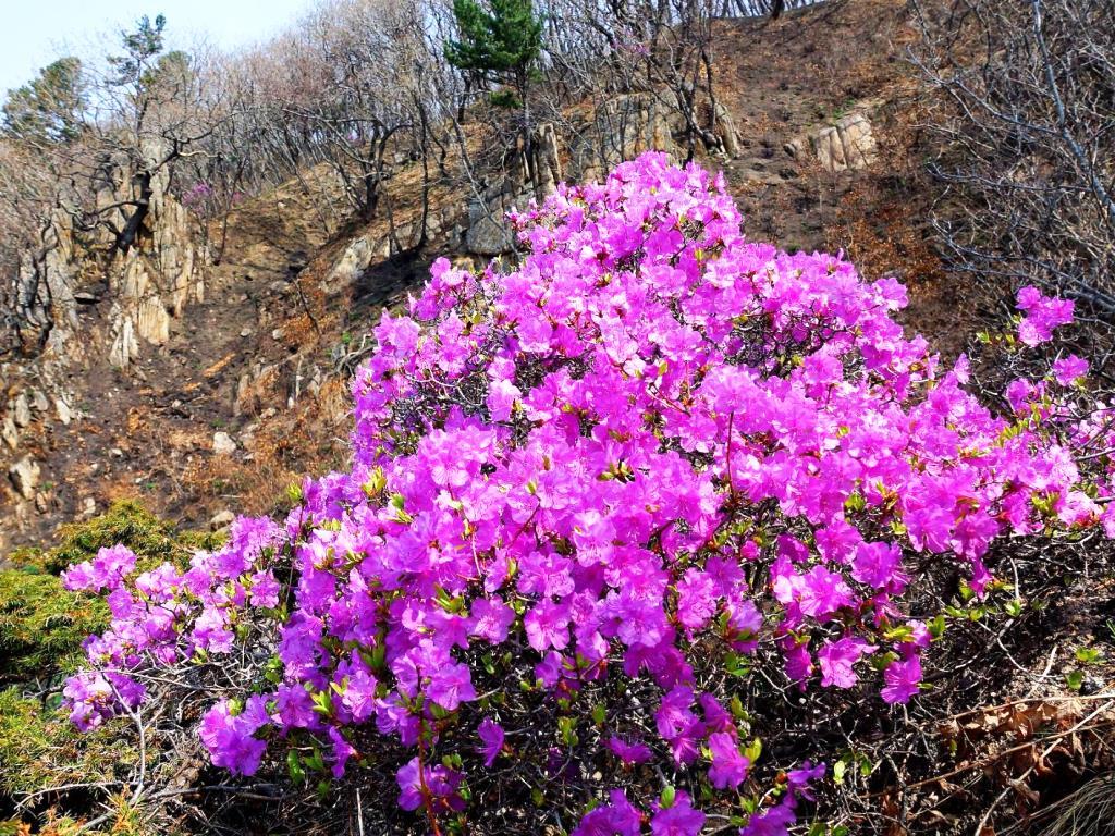 """""""Цветут рододендроны в мае на склонах..."""""""