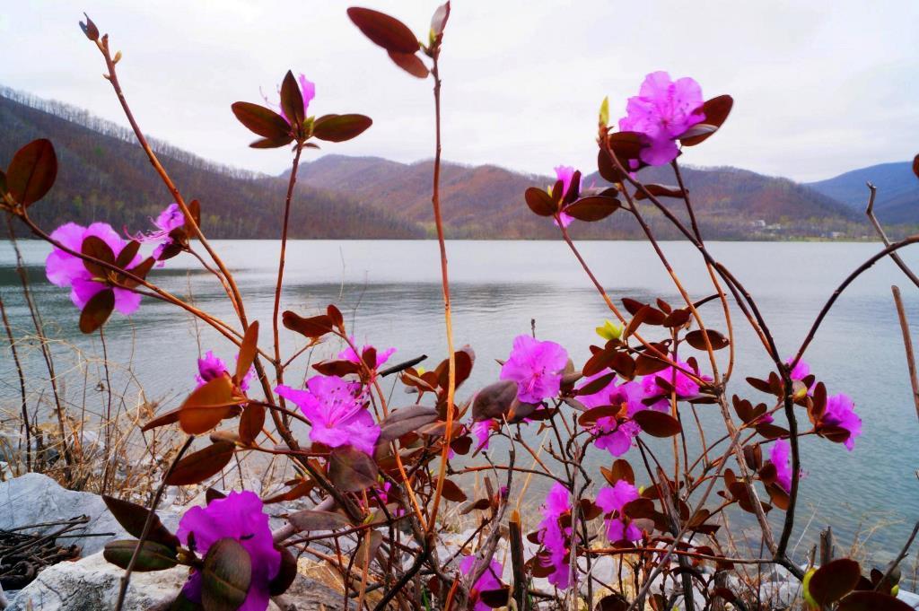 Цветут рододендроны...