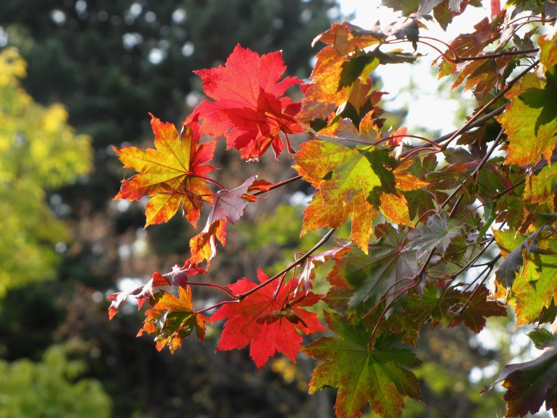 Охота за красными листьями