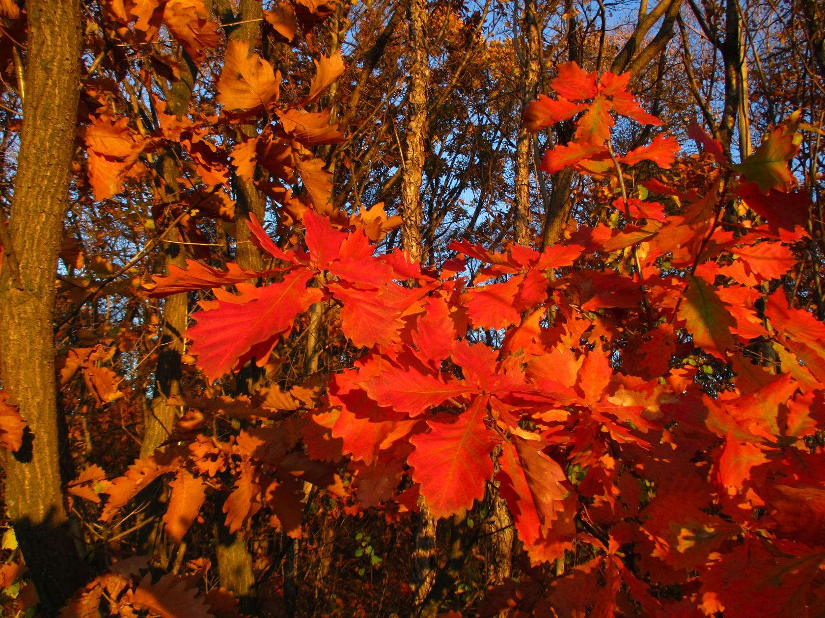 Осенний дубок на закате