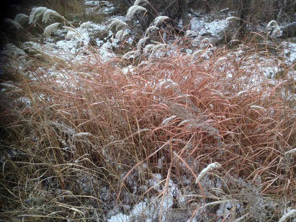 Мискантус зимой