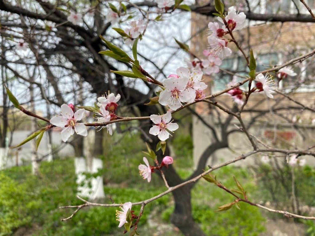Цветут деревья и кусты...