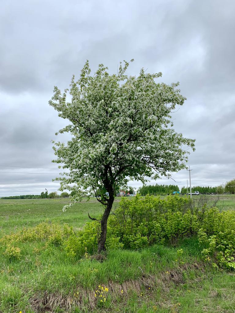Яблоня и ветер