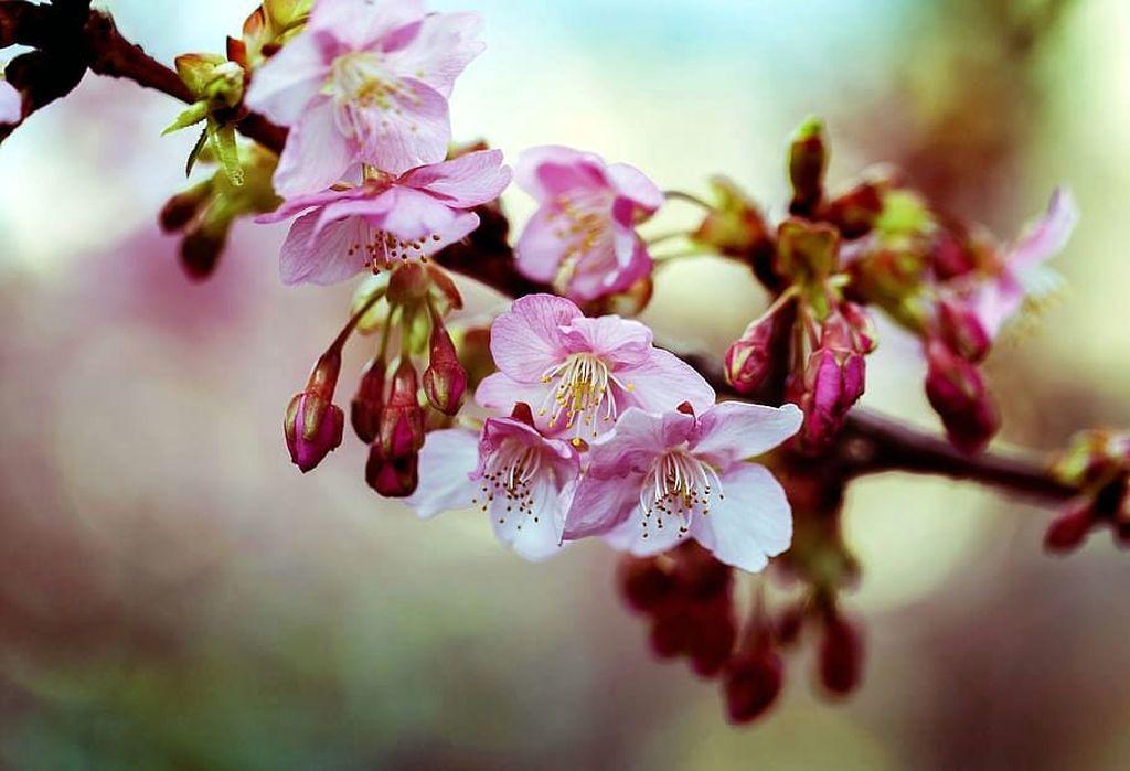 Цветение тёмно-розовой вишни кавадзу