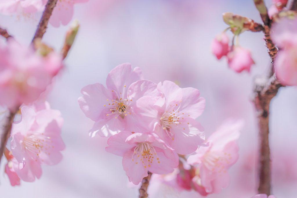 Розовая нежность сакуры