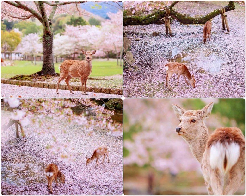 Весна в Nara Park