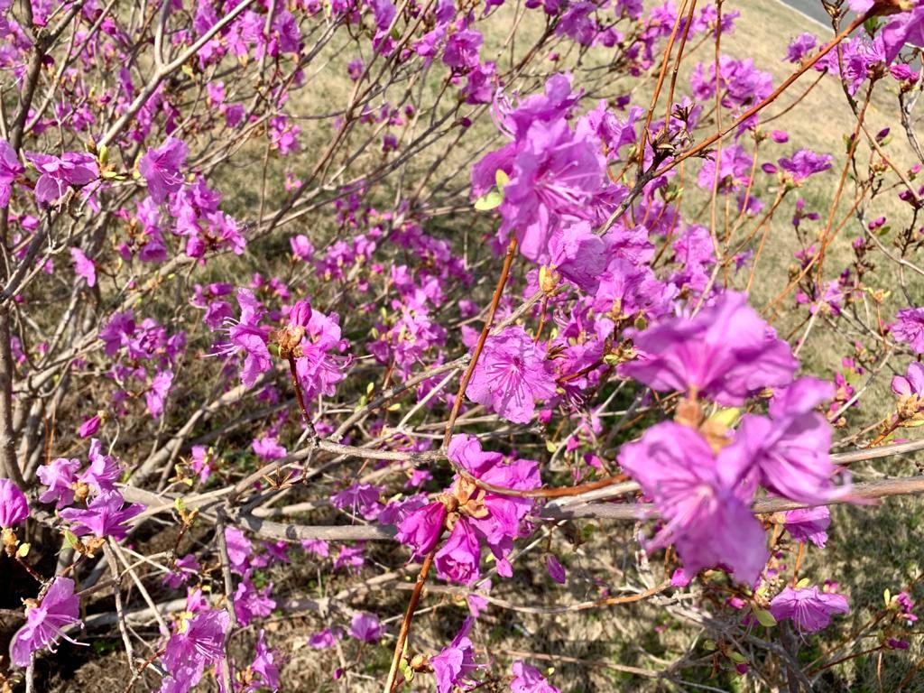Рододендроны в цвету