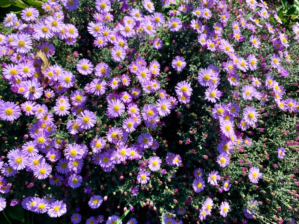 Сентябринки в цвету