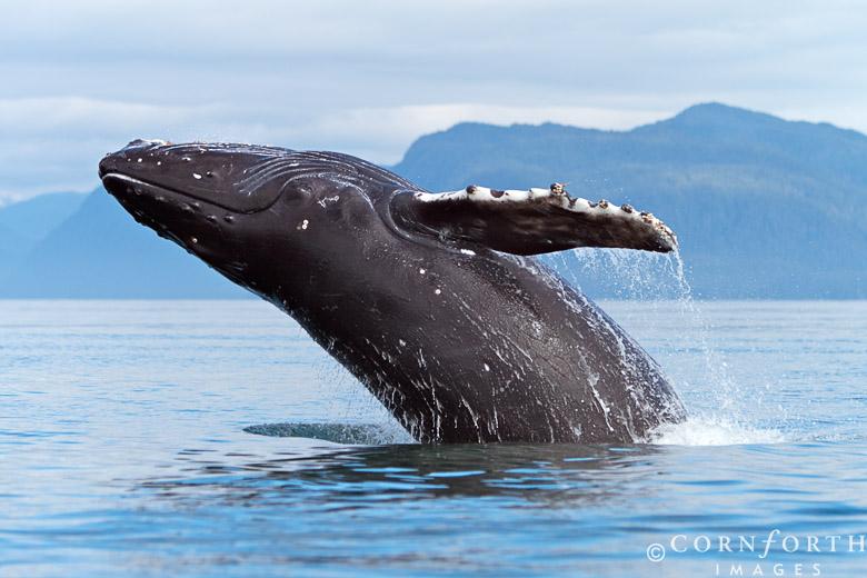 Humpback-Whale-Breach-117_Frederick-Sound-Alaska