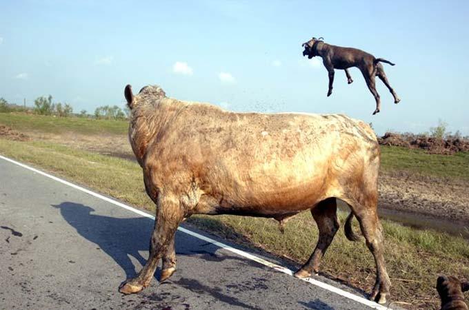 Нападение питбулей на быка