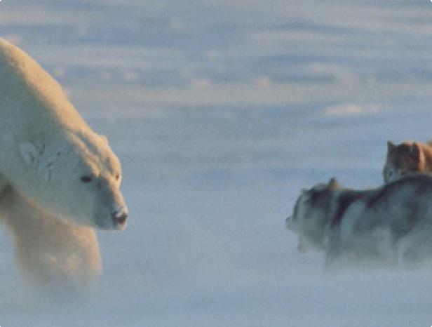 Белый медведь против лайки.