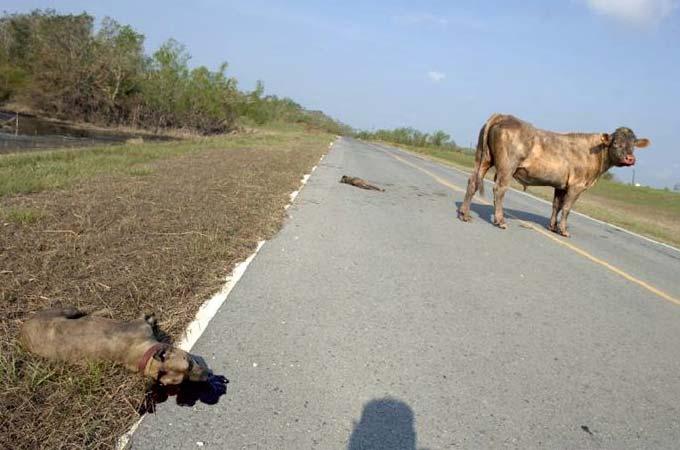 Два питбуля и бык