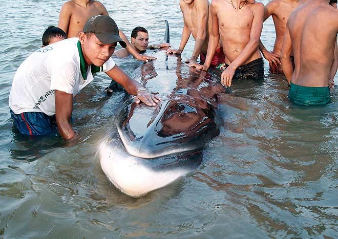Полосатик забрался на тысячу миль вверх по течению реки Топахос в джунг…