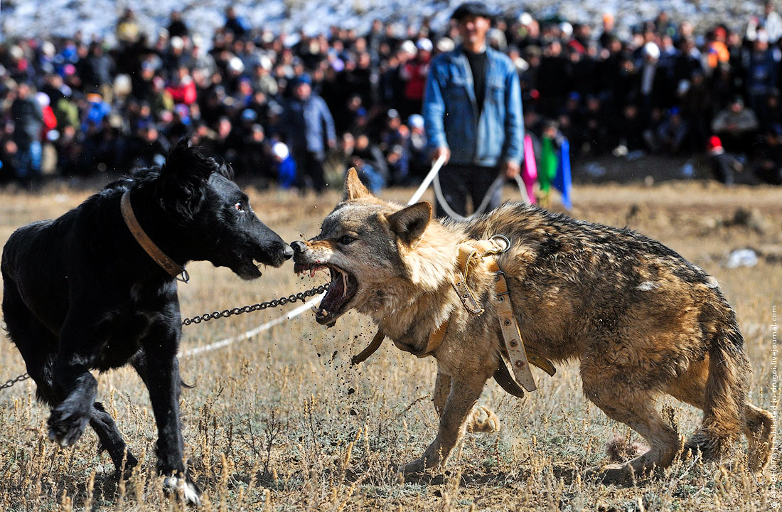 Руднев обменялись в своре собак жестокие нравы можете