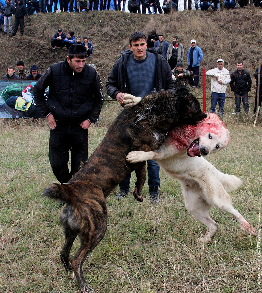 Собачьи бои в России: остановить варварство