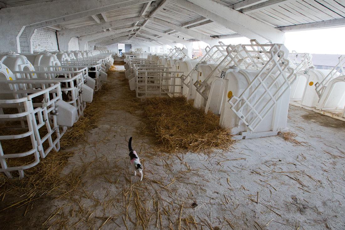 Коровы и роботы: репортаж из Самары