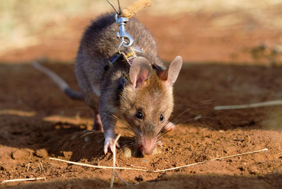 набор садовой крысы ищейки фото россии