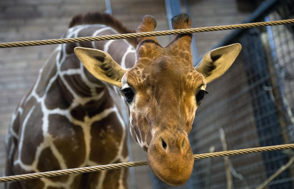 Зоопарк в Копенгагене: убийцы и живодеры