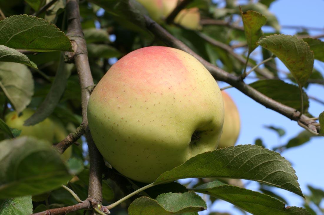 какие сорта яблок пригодны для кальвадоса