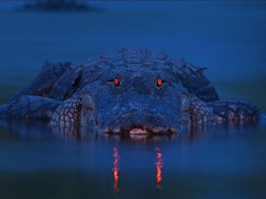Аллигатор в парке Мьякка в Сарасоте, штат Флорида. В районе давно не было дождей, и уровень реки опустился, а этот доисторических монстр тихо лежал там в ожидании бог знает какой добычи