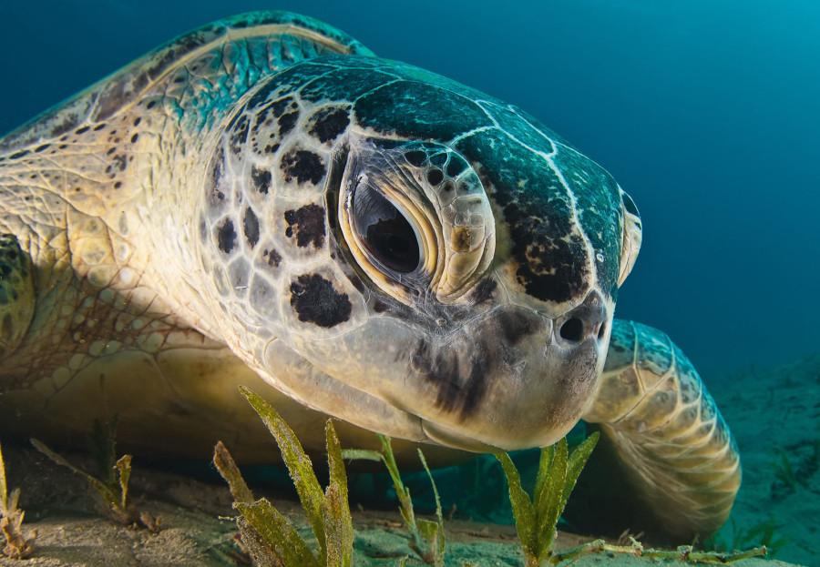Взгляд зеленой морской черепахи в Красном море