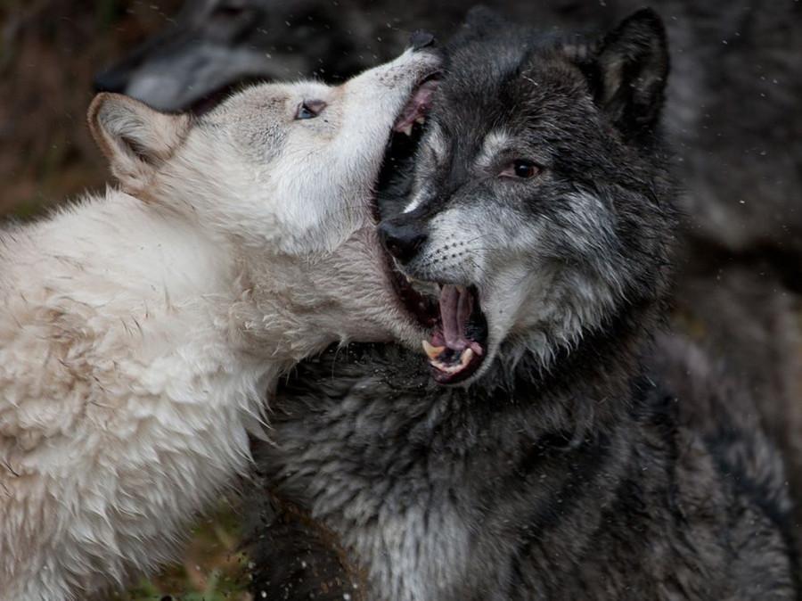 Волчья стычка