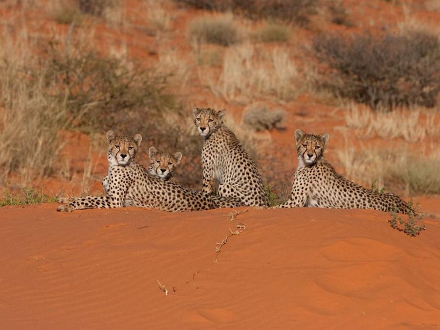Гепарды отдыхают на дюне в пустыне Калахари