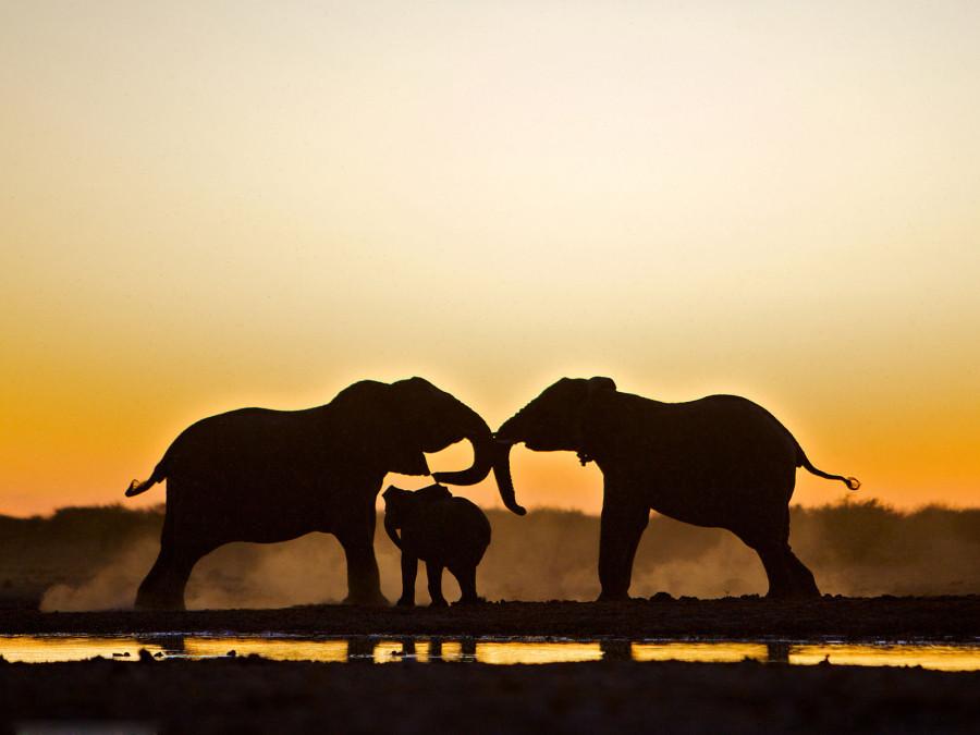 Два взрослых слона и детеныш у водопоя в Национальном парке Этоша в Намибии