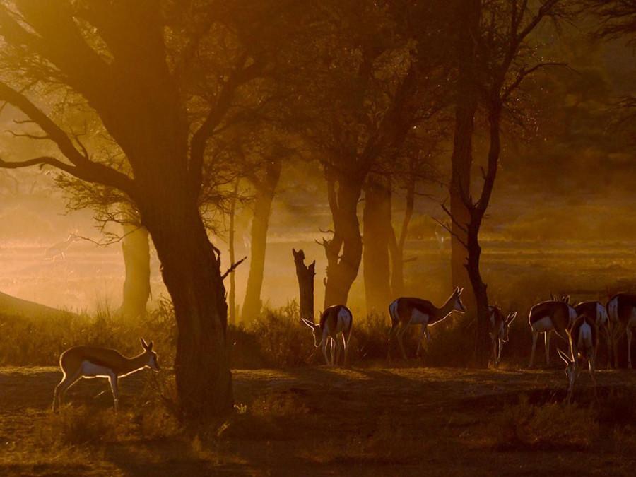 Золотистый свет на закате и рассвете в Калахари просто поражает и отлично передает атмосферу этого места. В это утро в парке Кгалагади восходящее солнце проникало через деревья акации, перед которыми паслись газели