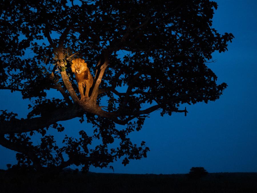 Лев на дереве в угандийском Национальном парке Королевы Елизаветы