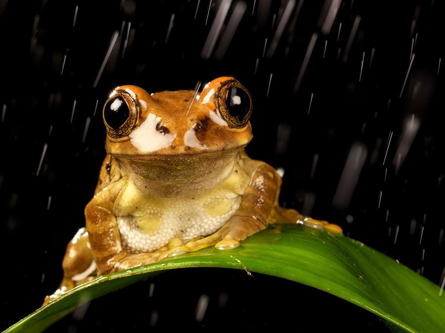 Самка павлиньей древесницы под дождем в ночи