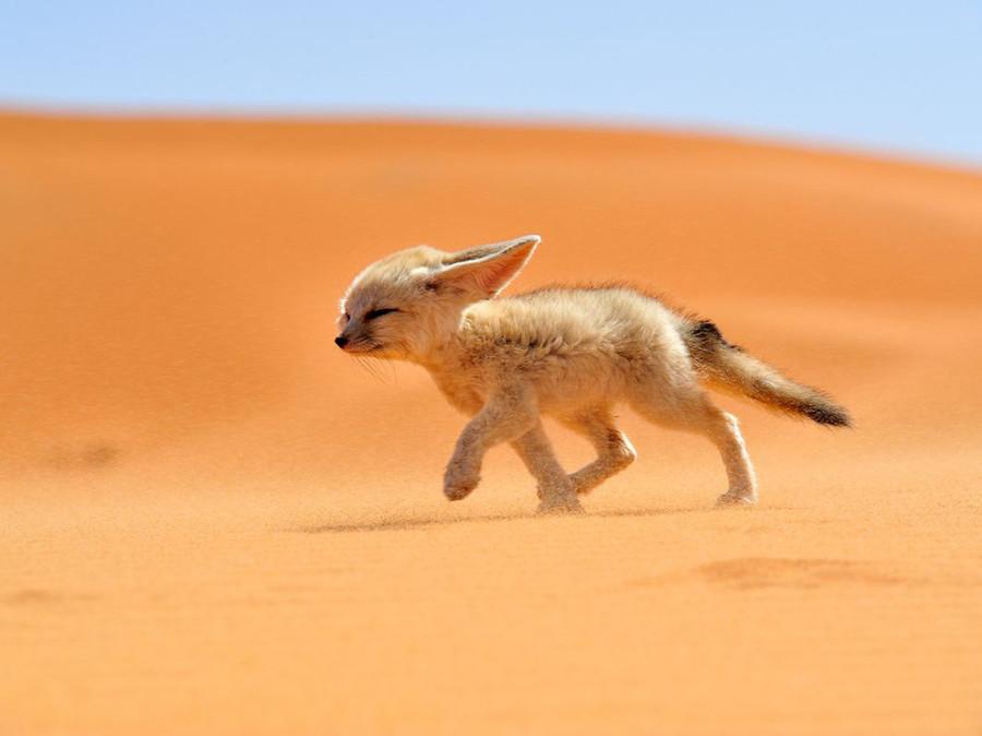 Фенек – это миниатюрная лисичка, живущая в пустыне Сахара и Аравии1