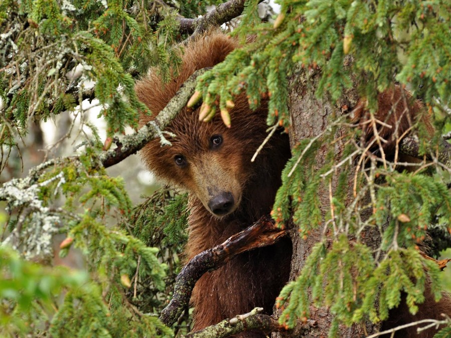 Этот годовалый «малыш» ловил рыбу вместе со своей мамой в Брукс-Фолс, Аляска. Но вдруг он разволновался, выбежал из воды и подбежал к дереву, прямо рядом со смотровой площадкой