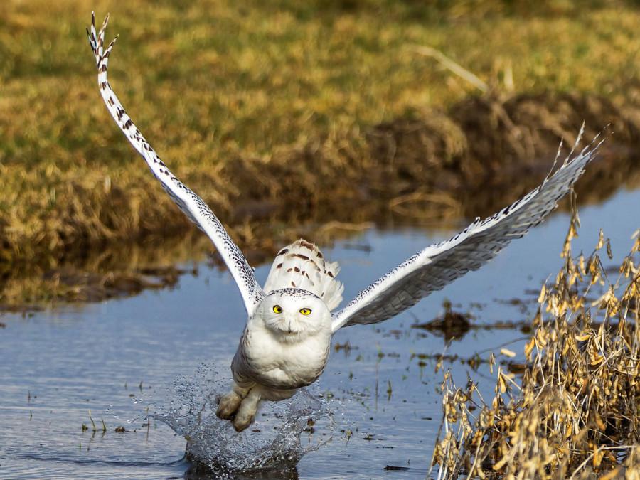 Снежная сова за охотой, Канада