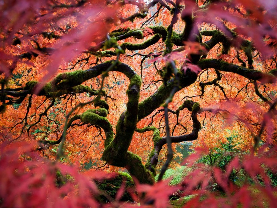 Японский клен, штат Орегон, США