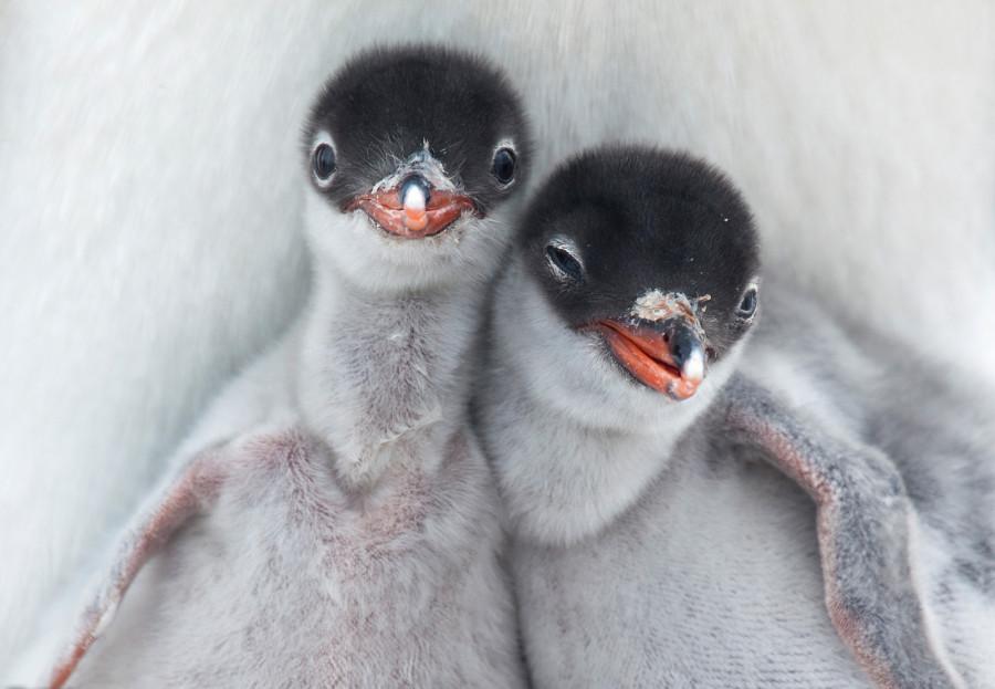 В Порт-Локрой, Антарктида, два новорожденных пингвинчика смотрят на мир вокруг, подпираемые теплым брюшком одного из родителей