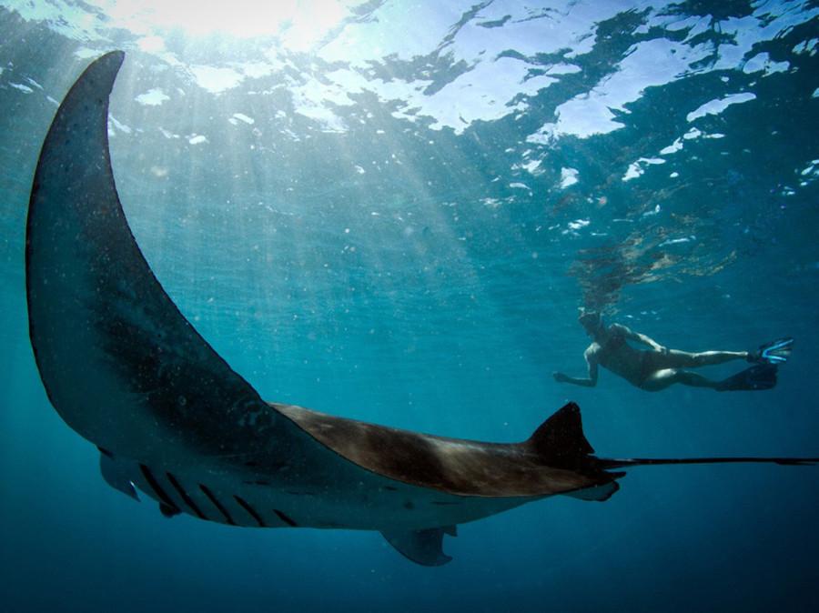 Девушка наслаждается компанией огромного ската у рифа Нингалу, у западного побережья Австралии