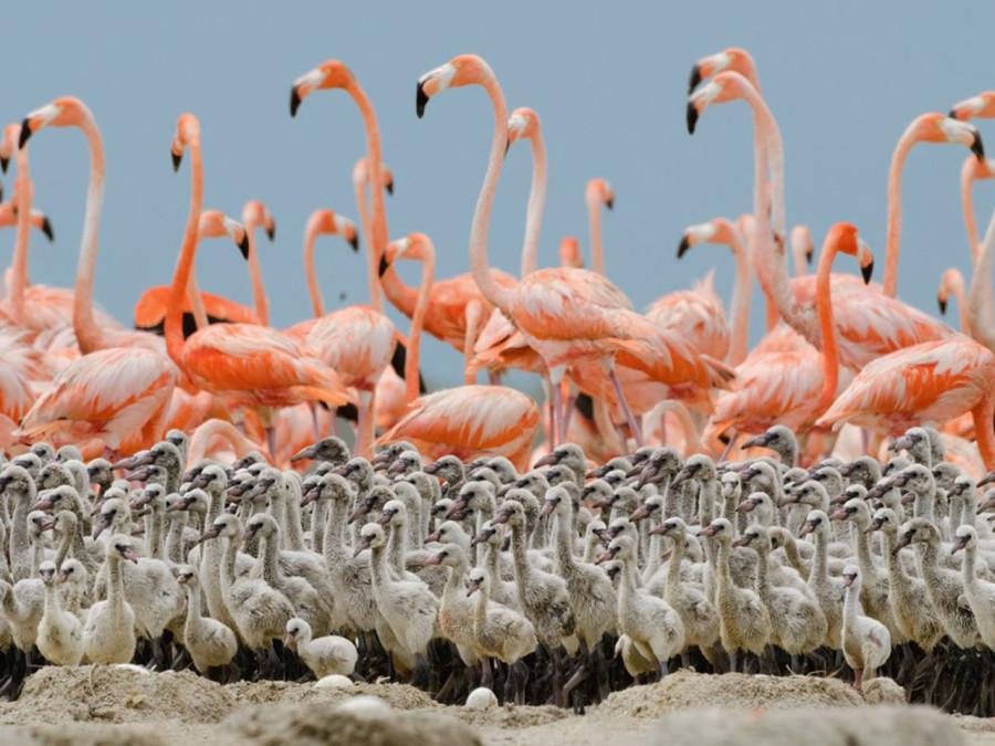 Когда птенцам фламинго исполняется несколько недель, родители оставляют их и отправляются на поиски еды. Но несколько взрослых птиц все-таки остаются поблизости и защищают их от собак и ягуаров