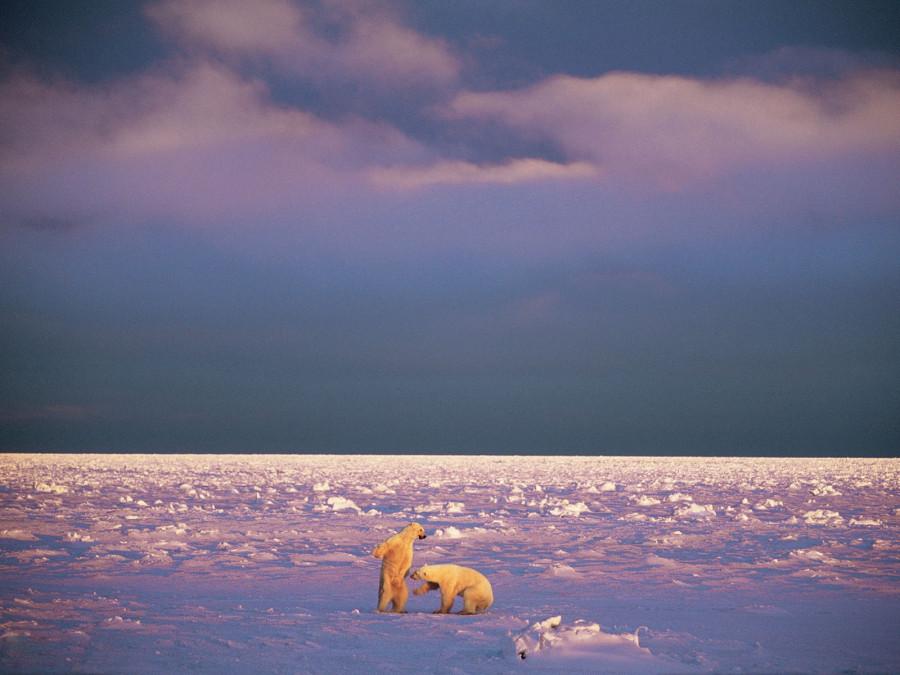 Молодые самцы полярного медведя борются на островах Свальбард при свете низкого зимнего солнца. Здесь полярные медведи благоденствуют – около половины из 3000 полярных медведей в Баренцевом море живут здесь