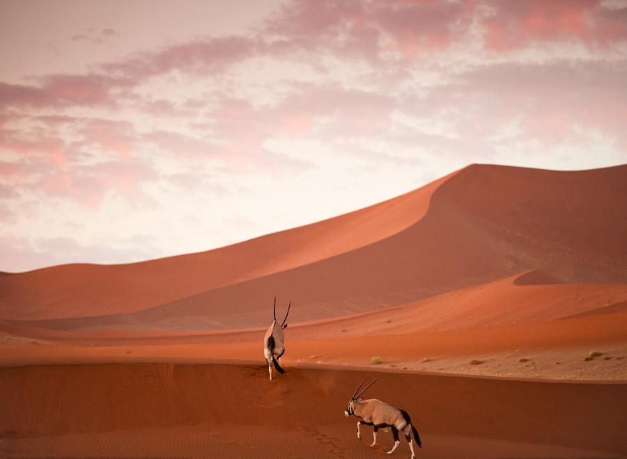 Ориксы в Национальном парке Намиб-Науклуфф в Намибии после захода солнца.