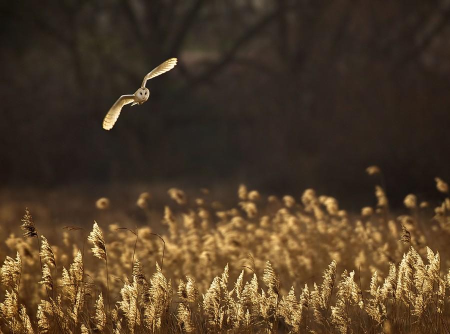 Сипуха летит над Норфолком