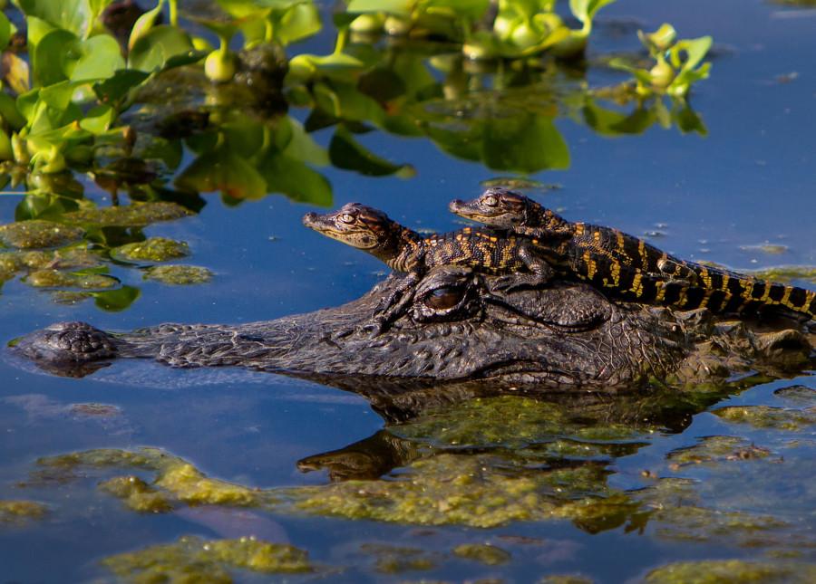 Фото двух детенышей аллигатора на голове у мамы. Фото сделано в парке Бразос Бенд в Техасе