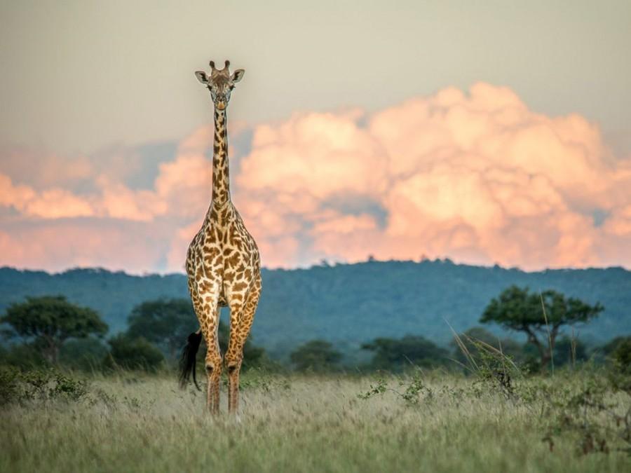 Этот жираф замер для единственной фотографии, а затем направился к холмам Микуми в Танзании