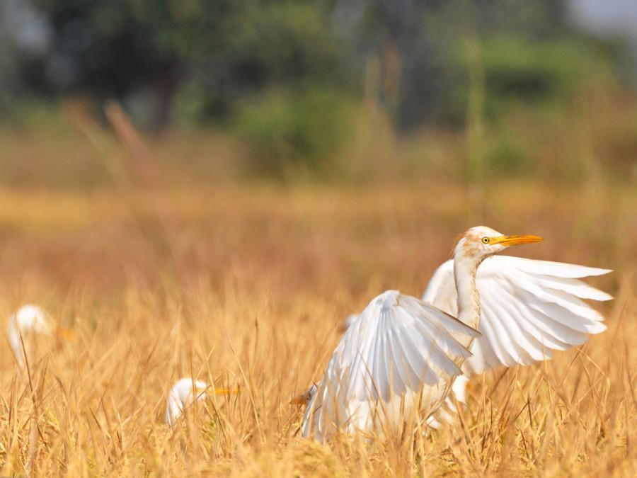 Египетская цапля на сухом рисовом поле в Индии